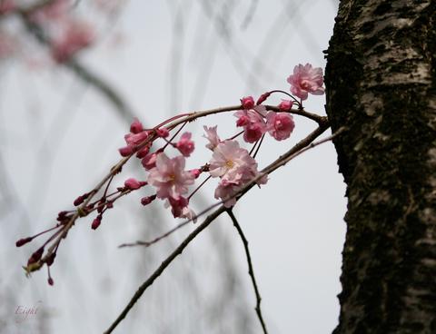 j-yaezakura2.jpg