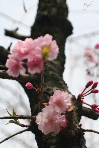 j-yaezakura3.jpg